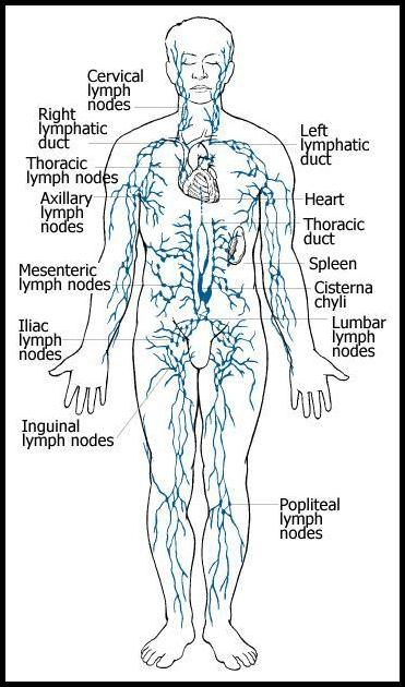 lymphatics